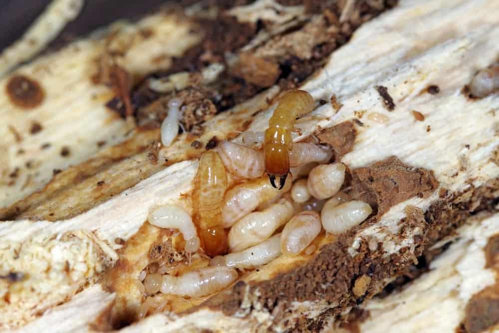 Yellow Necked Drywood Termites