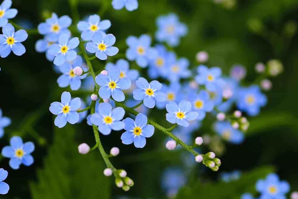 Gorgeous Blue Forget-Me-Nots