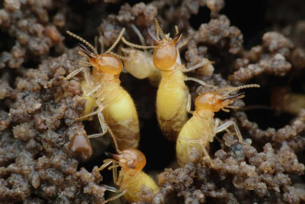 Colony of Formosan Termites