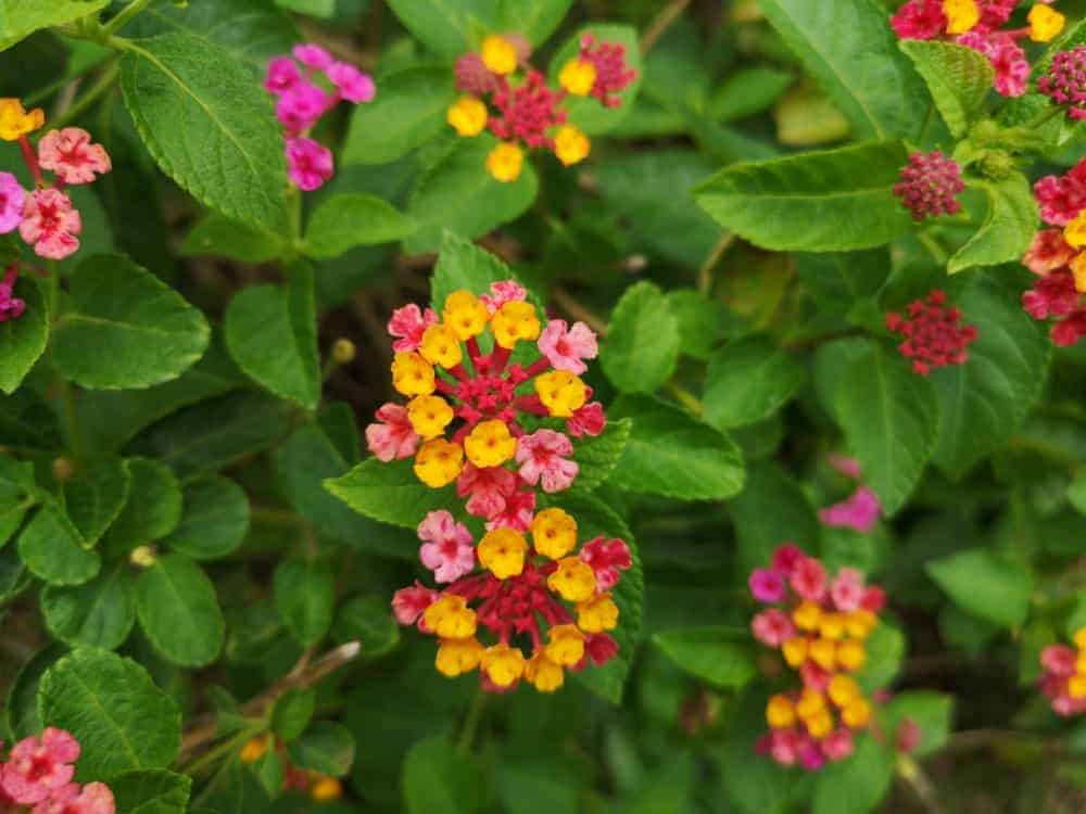 Red , yellow and pink lantana