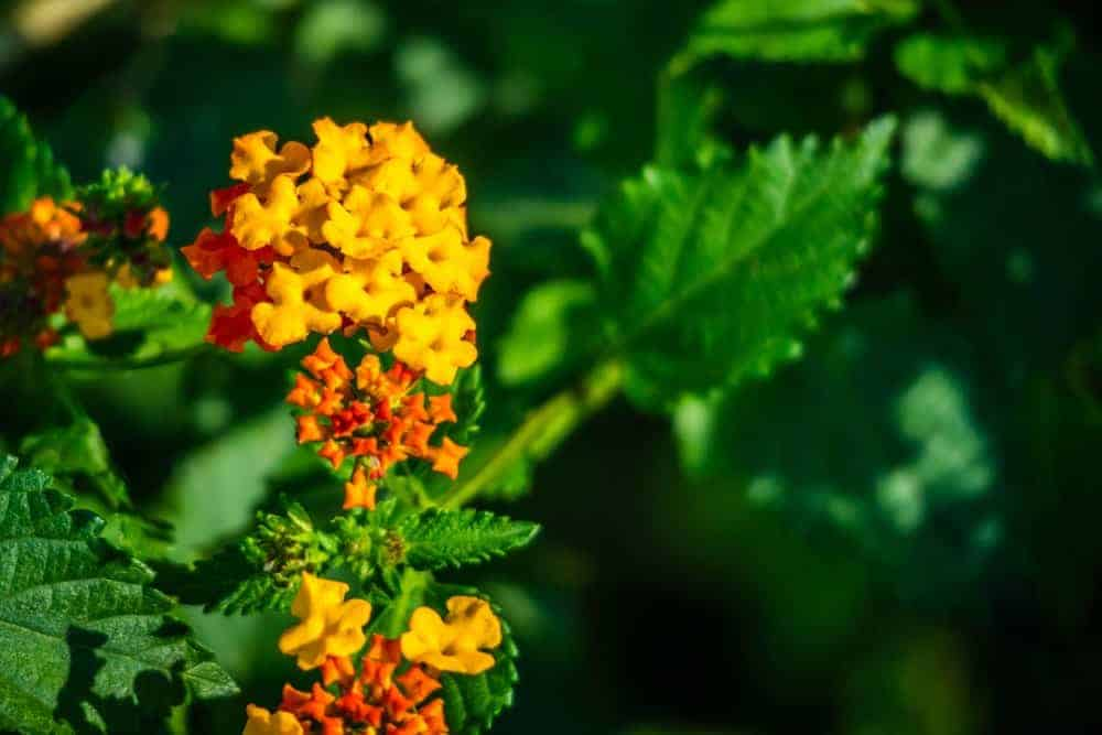 Yellow and orange lantana