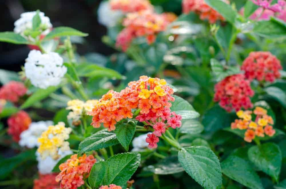 Different lantana flowers