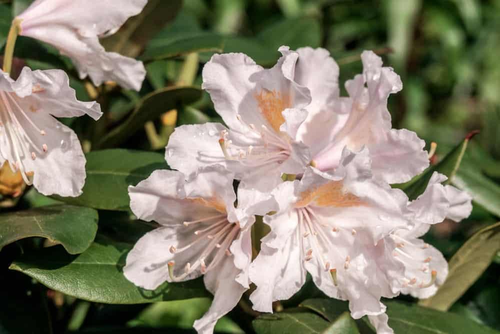 White Rhododendron Boule de neige flowers