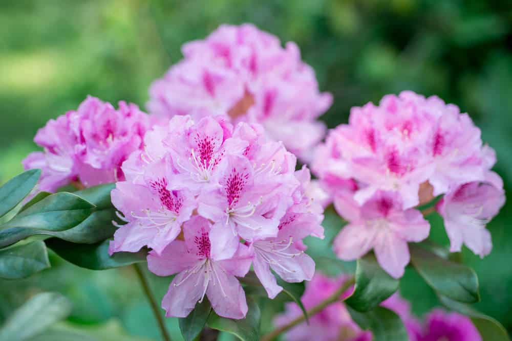 Pink Rhododendrons