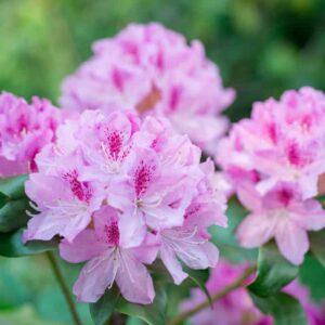 Rhododendruns pink in garden