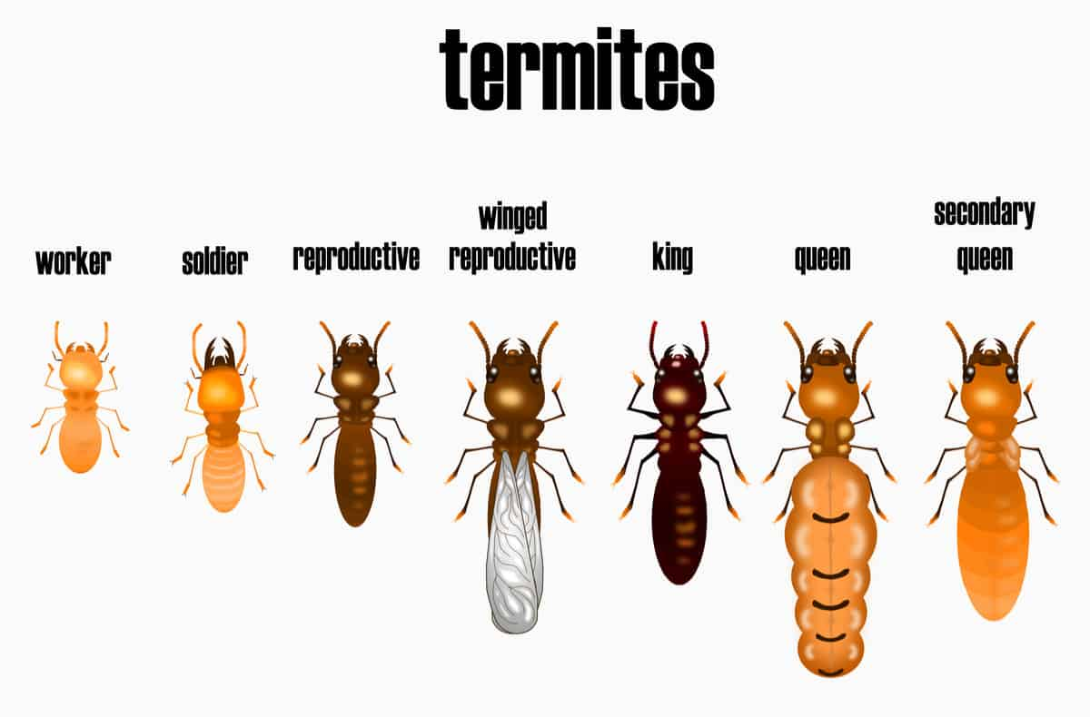 Termite chart different types within the nest