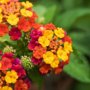 Different types of Lantana