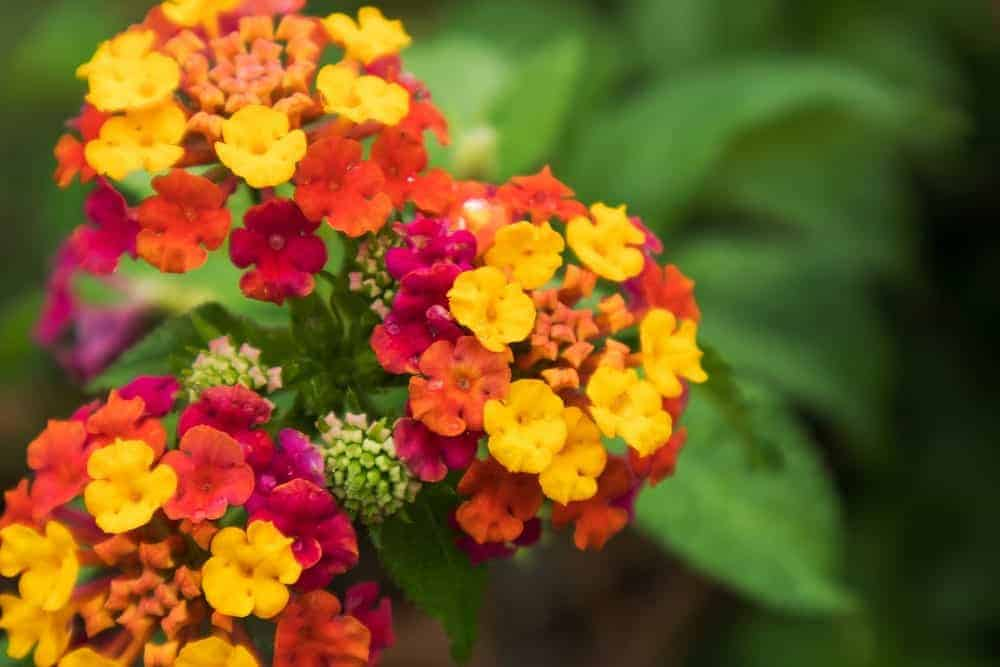 11 Types Of Lantana Flowers For Your Garden