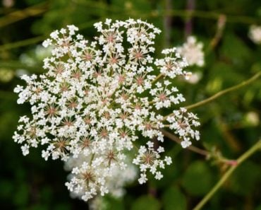 Different types of Wild Carrot flowers