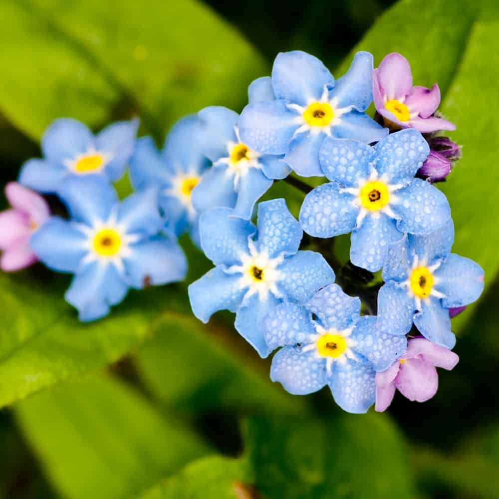 Beautiful Blue Forget Me Not Flowers
