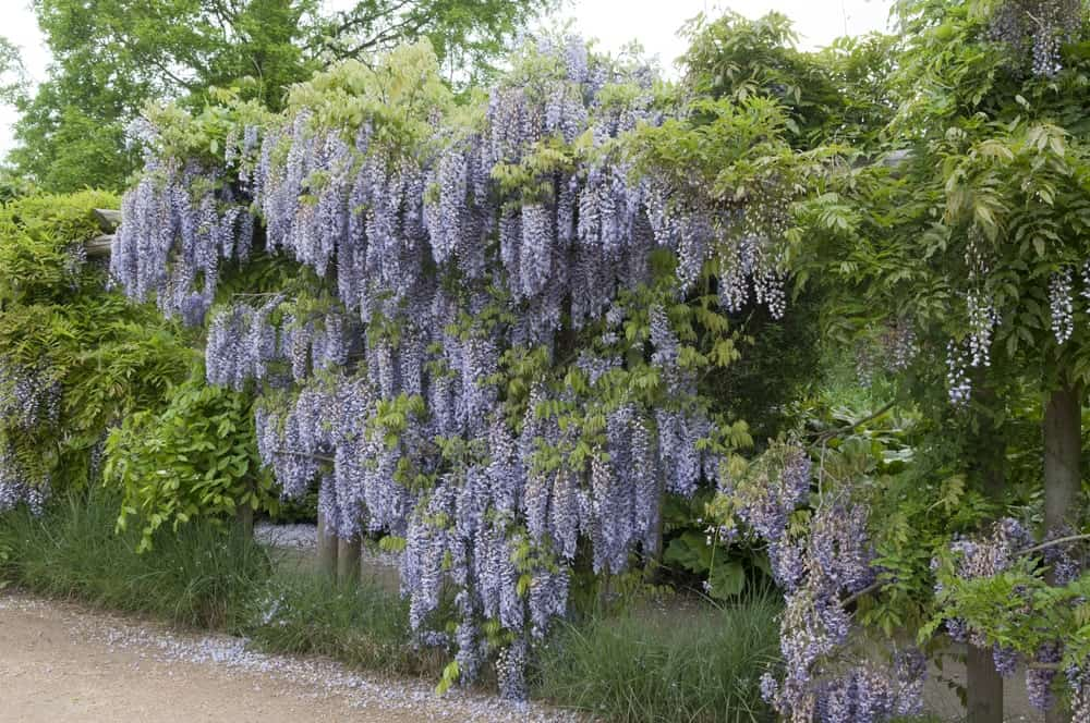 Purple wisteria blooming in a garden