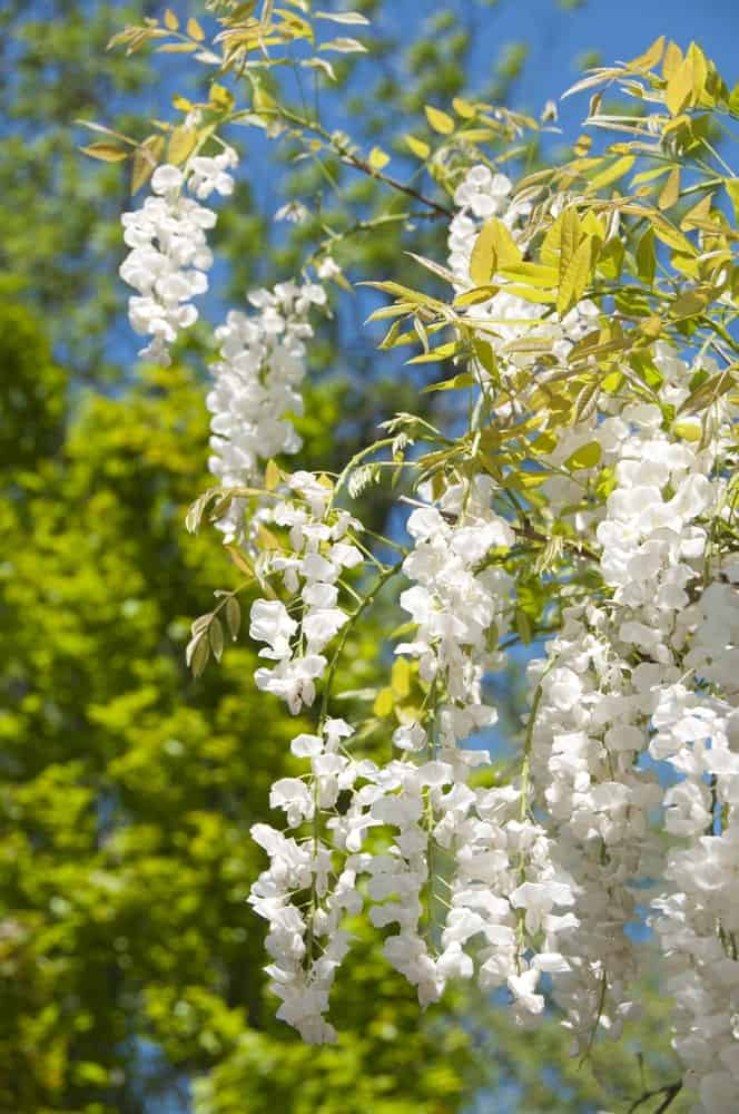 White Wisteria with Green Foliage