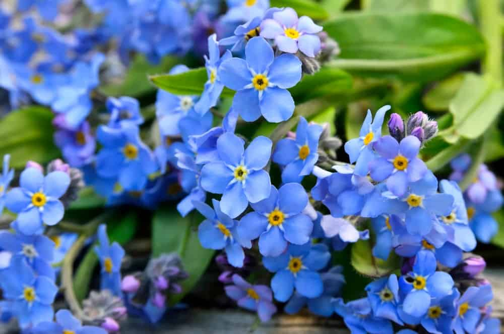 Striking Blue Wood Forget Me Not