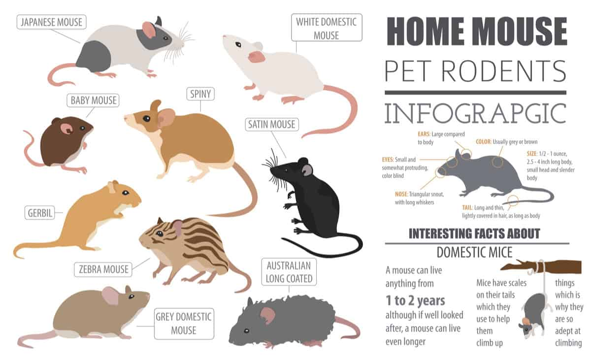 types of mice chart