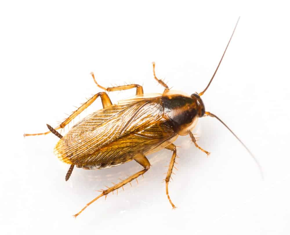 German cockroach close-up