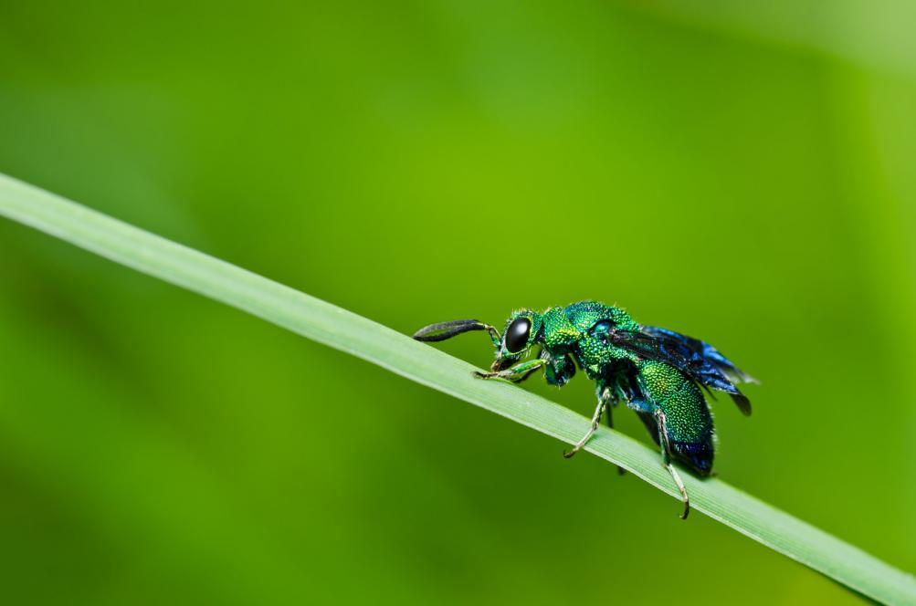 A green Jewel Wasp on the plant stem