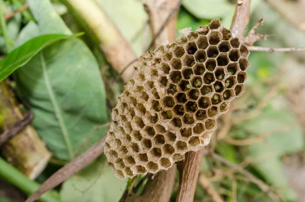 A wasp nest in a garden