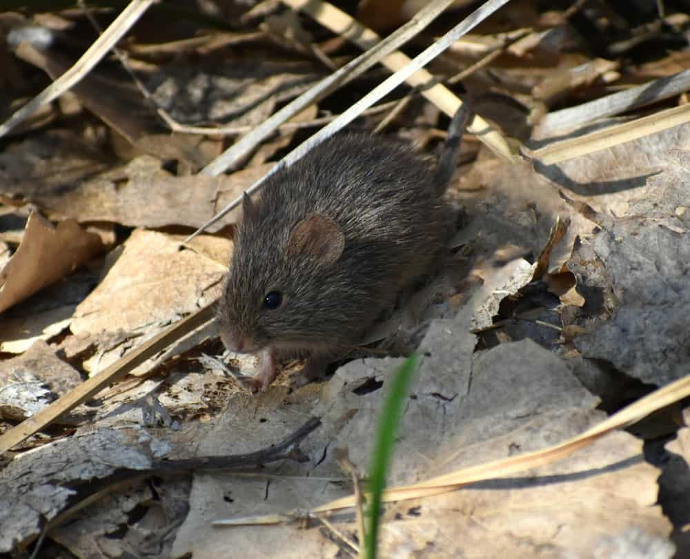 A black pocket mouse amongst leaves and twigs on the ground