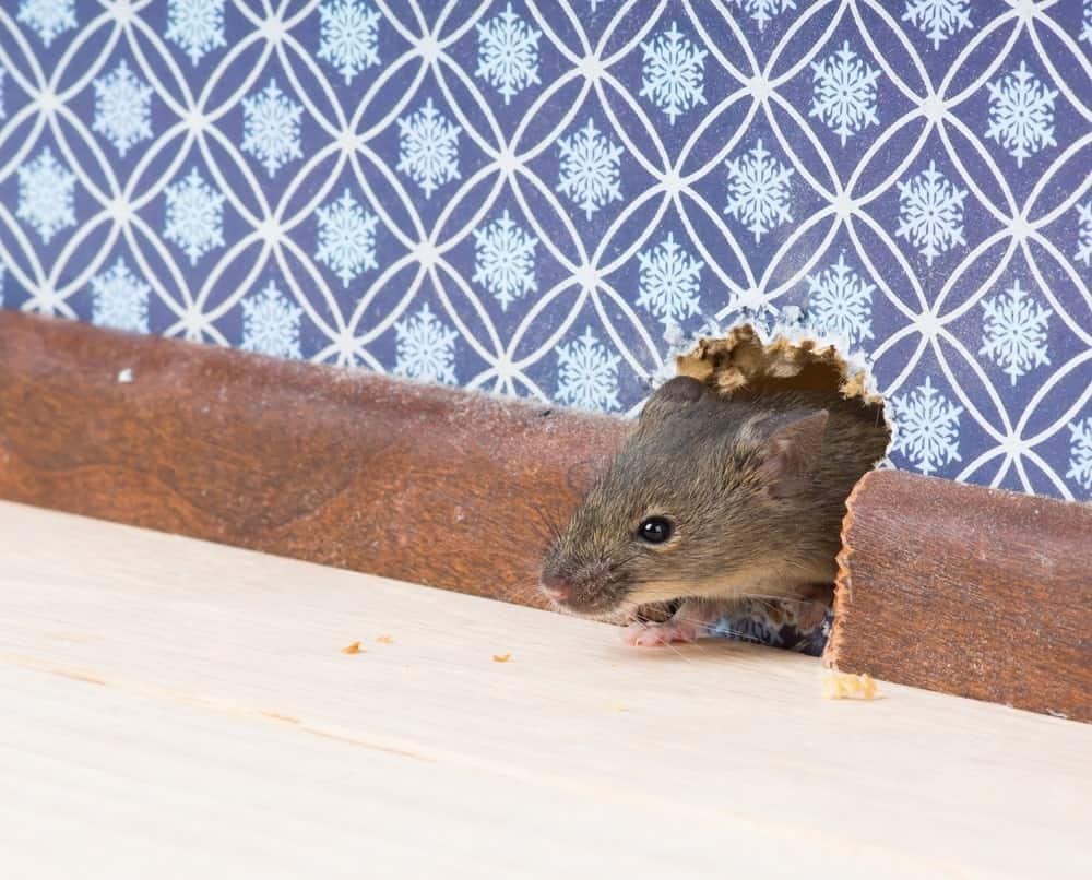 A house mouse makes a hole in the wall to get indoors