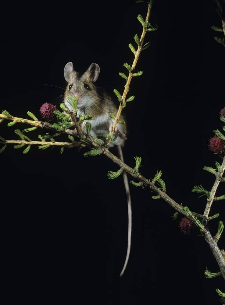 A mouse with kangaroo-like ears eating berries from a shrub