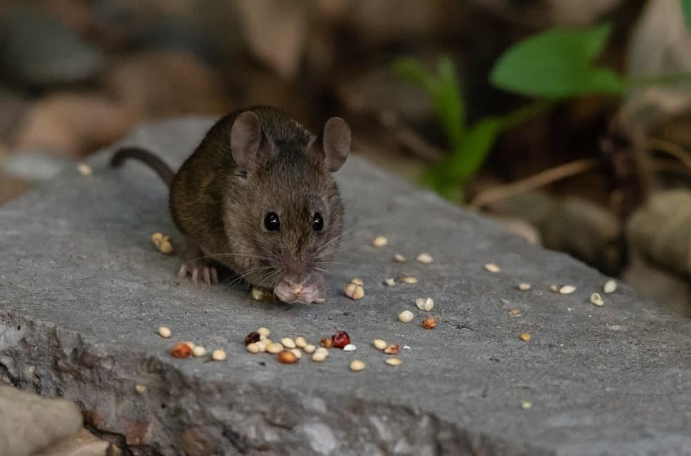 A mouse busy devouring grains in the wild
