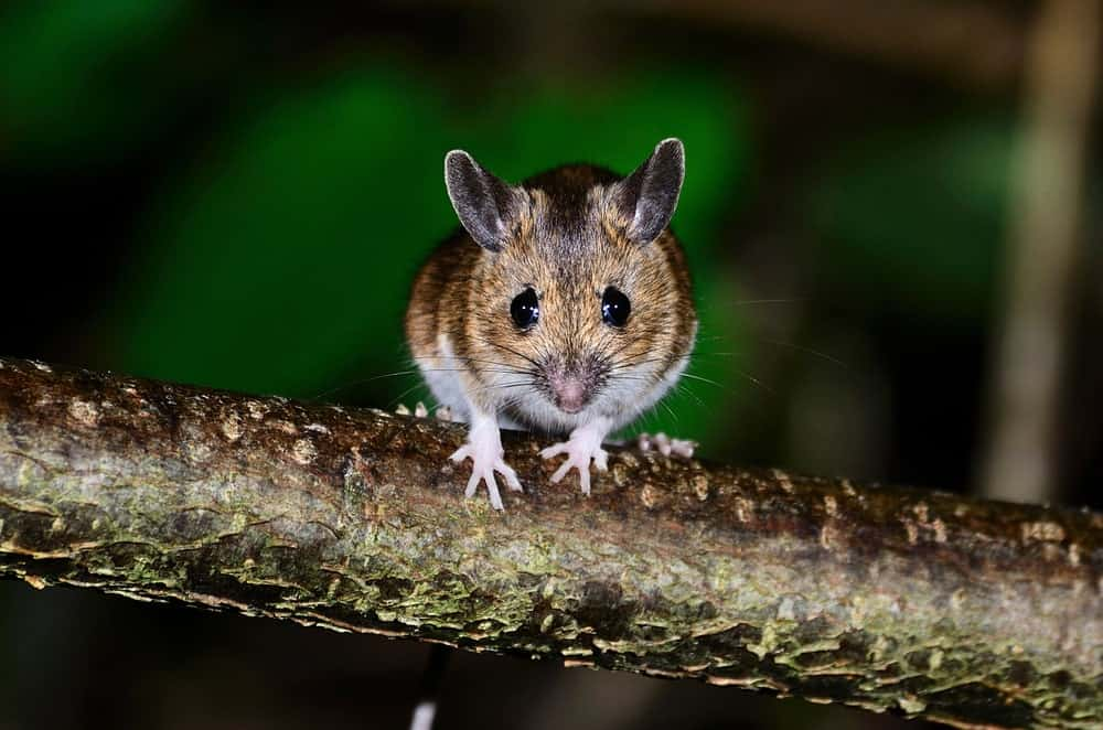 A wood mouse on a tree branch in the wild