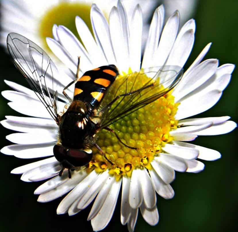 A yellow-jacket wasp extracting nectar from a daisy