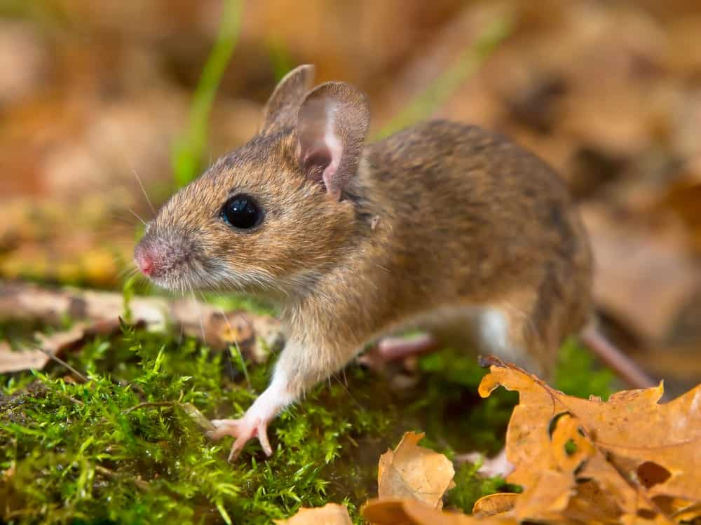 A yellow necked mouse stepping on grass outdoors