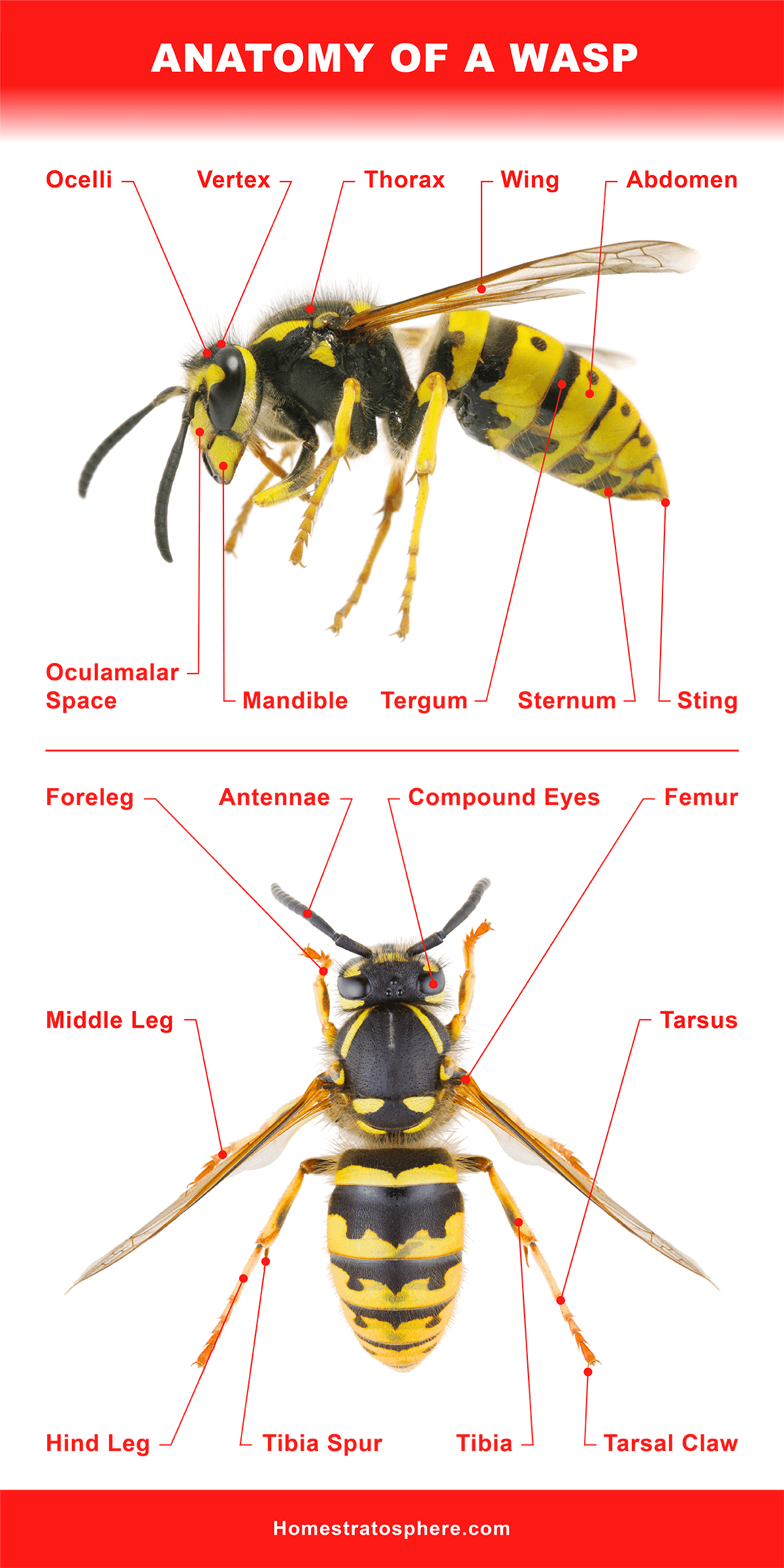 Anatomy of a Wasp