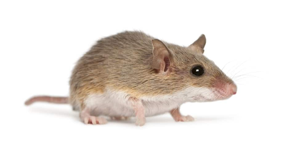 A full picture of an African pygmy mouse