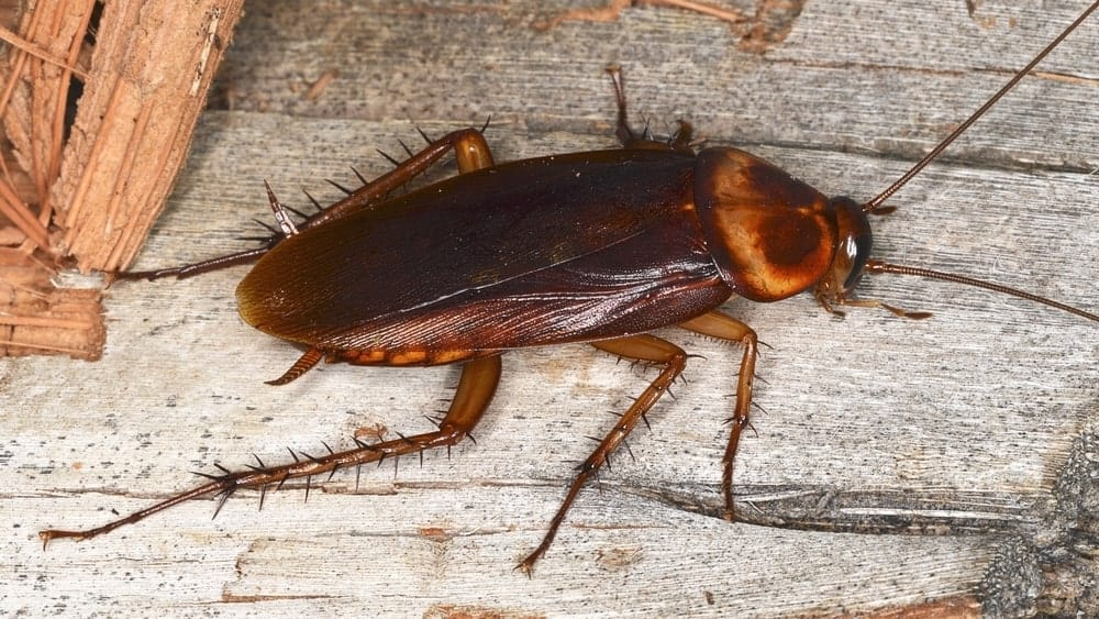 American cockroach close-up