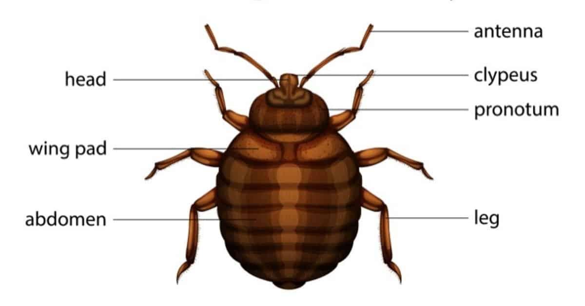 The common bed bug's anatomy