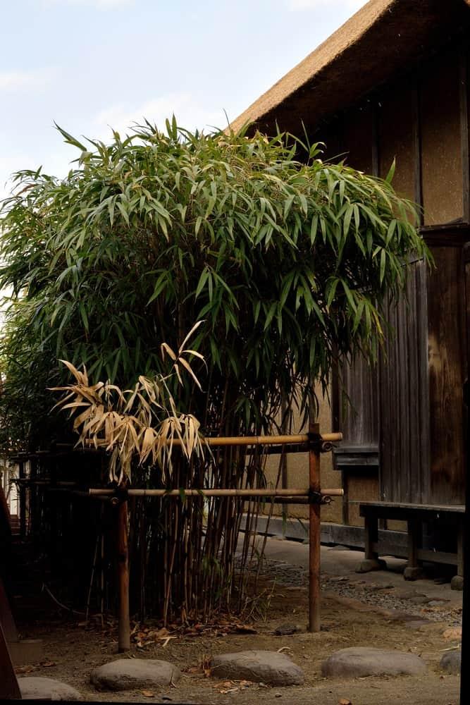 Arrow bamboo tree