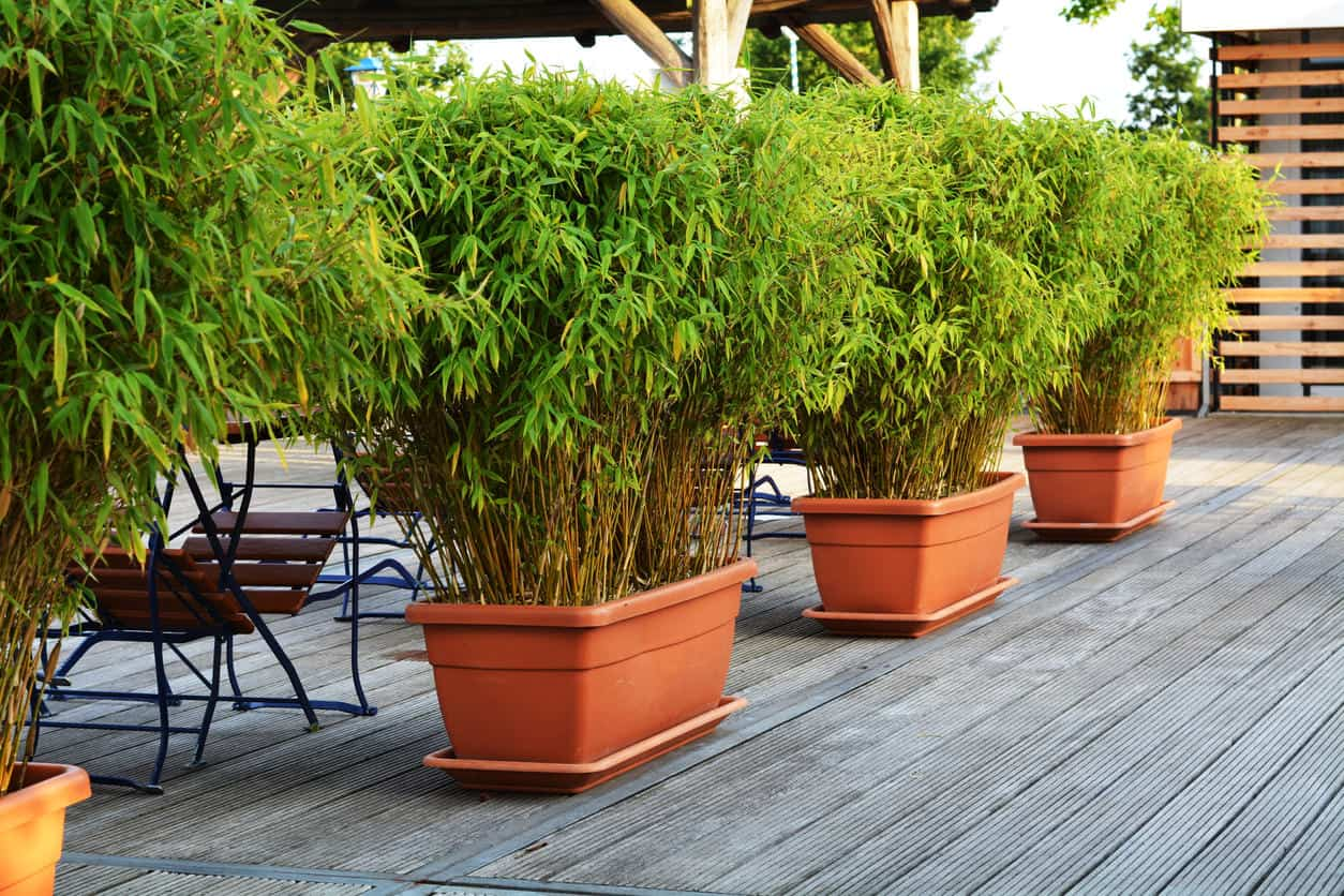 Bamboo in planters on a deck