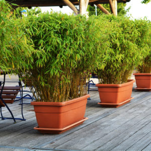 Bamboo in planters on patio