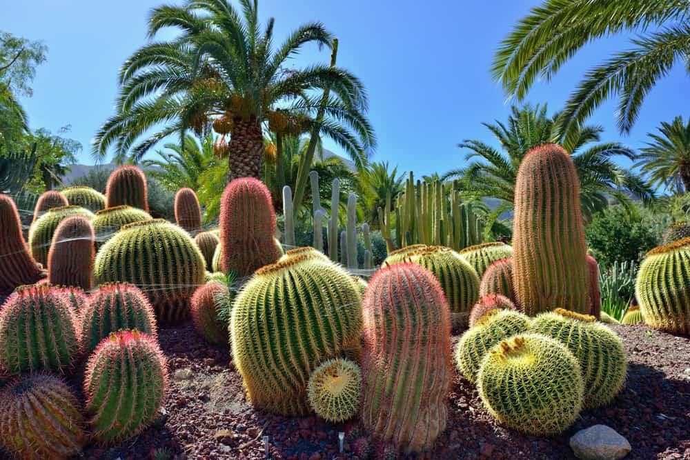 Large rocky cacti garden surrounded by palm trees.