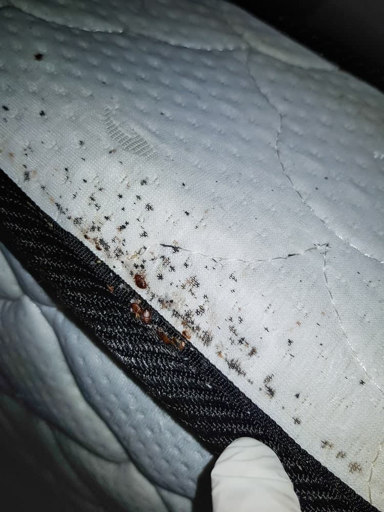 An infestation of bed bugs