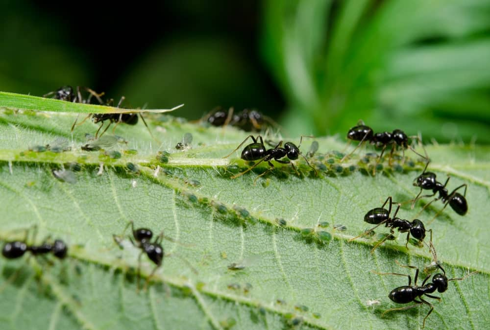 Garden Ants Tending to Their Aphid