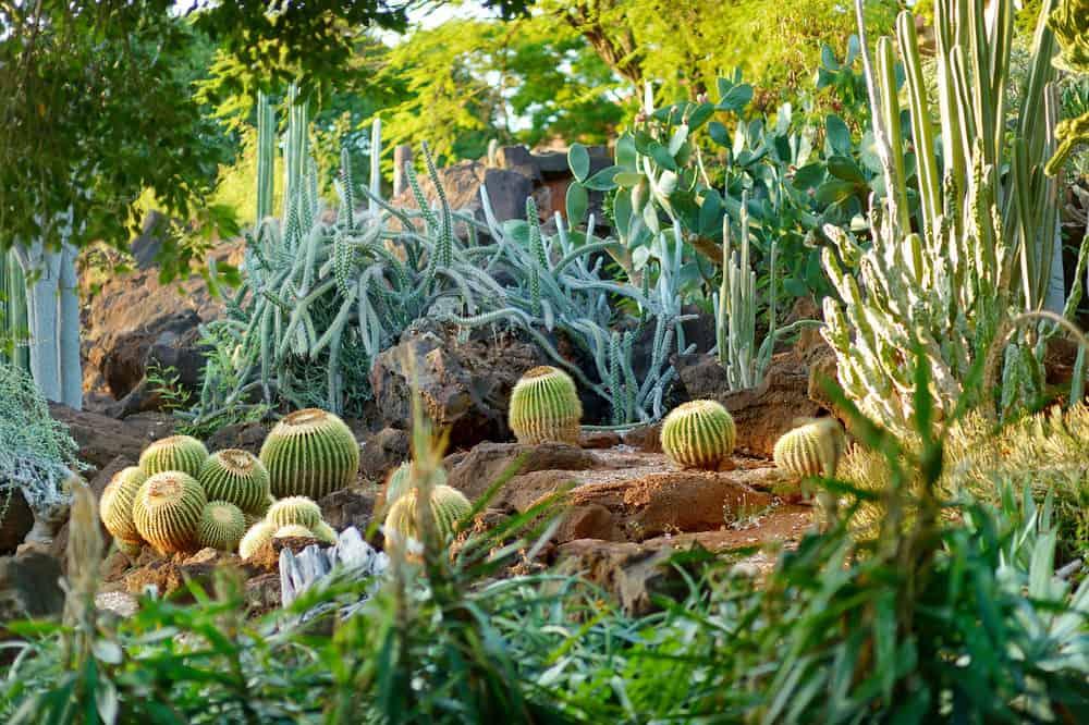 Amazing large, tall cacti garden on slope.