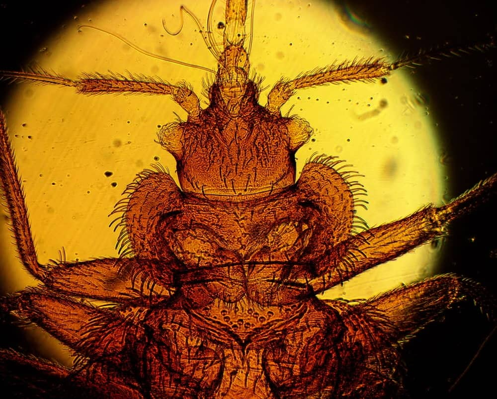 The common bed bug under high magnification