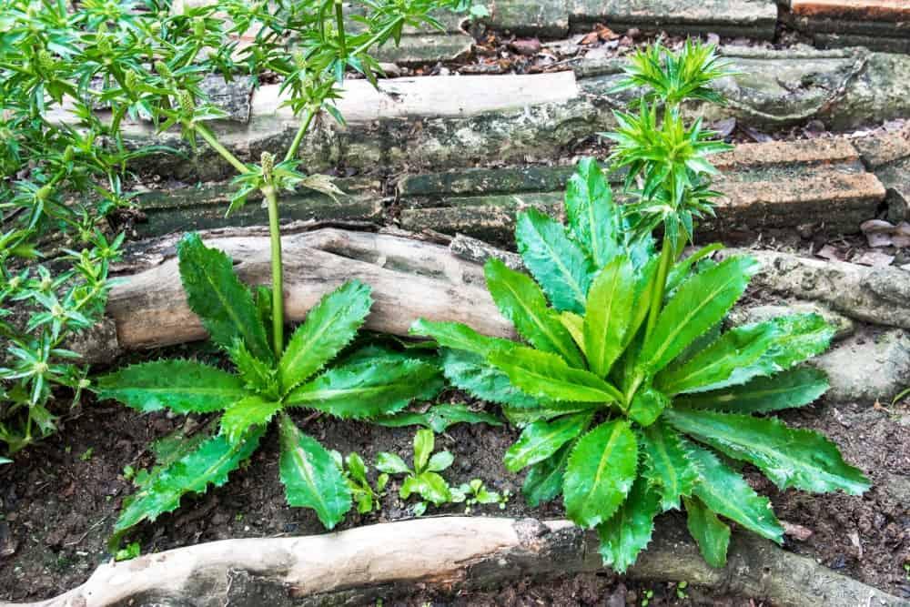 Fresh Green Culantro Leaves