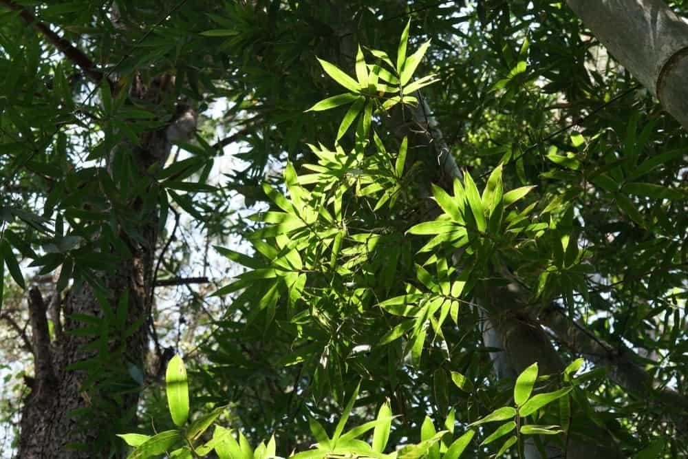 Giant bamboo tree