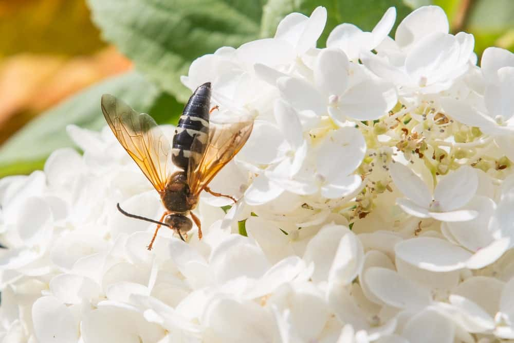 The Cicada Killer Wasp on white flowers