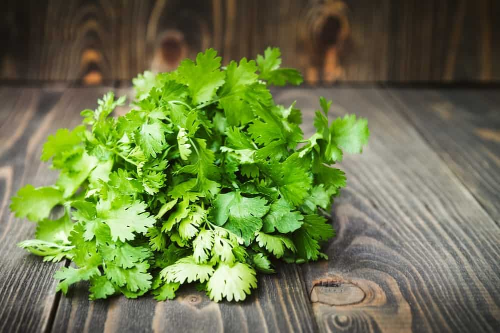 : Bunch of Fresh Cilantro on Wooden Background