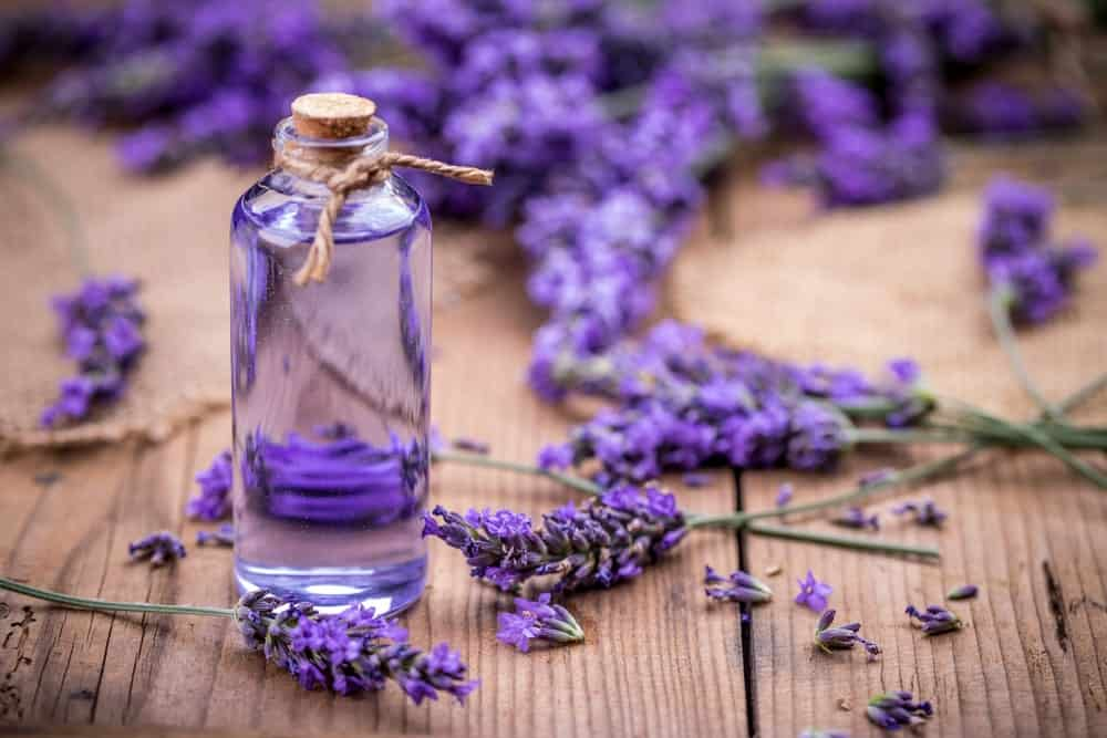 Sprigs of Fresh Purple Lavender Flowers