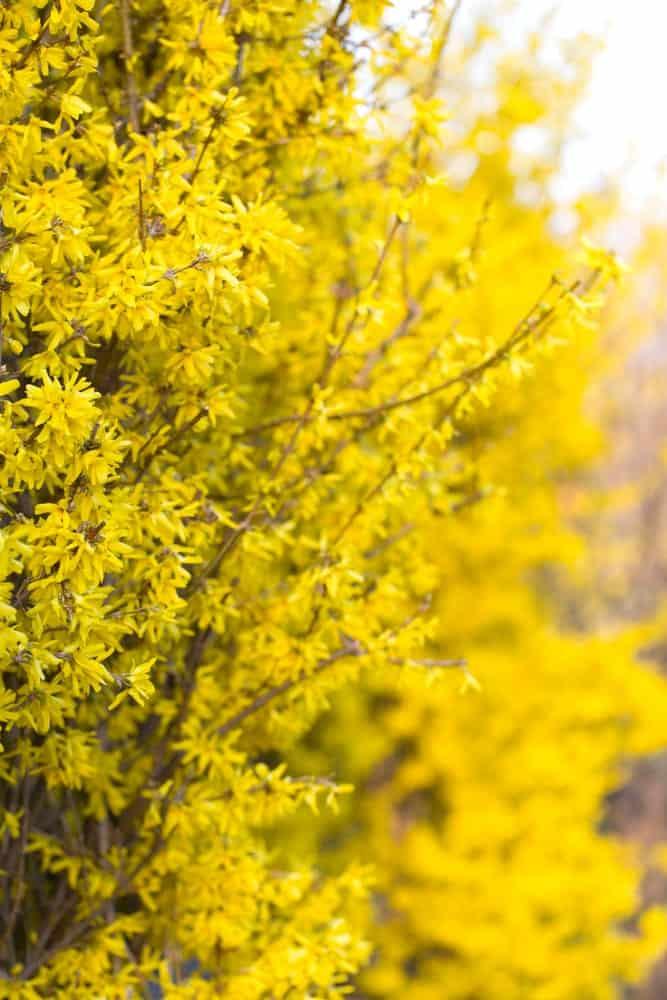 Striking Yellow Flowers in a Field
