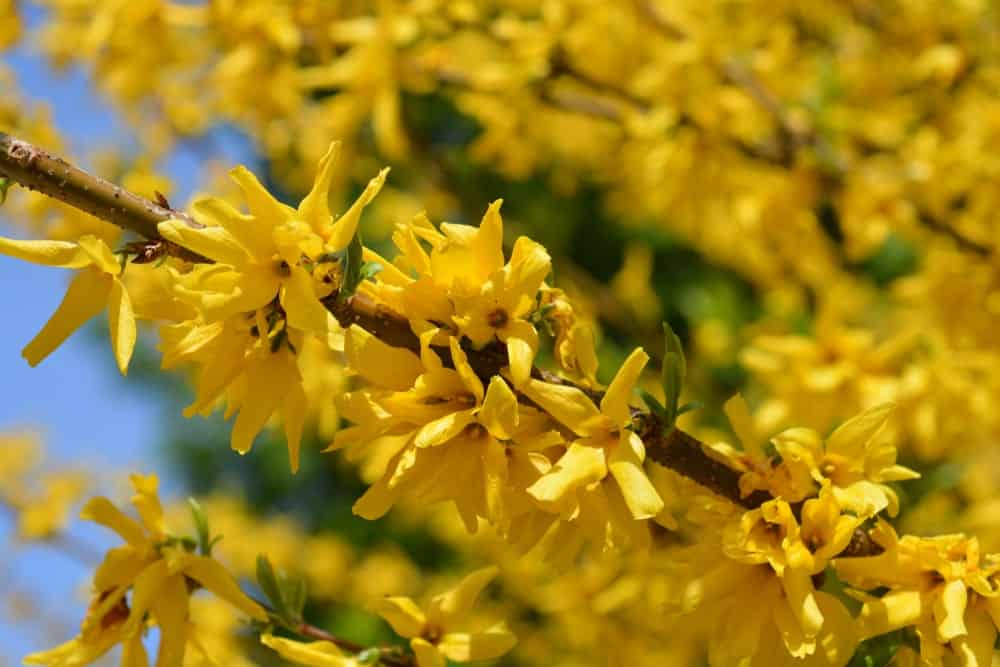 Yellow Flowers on a Stem