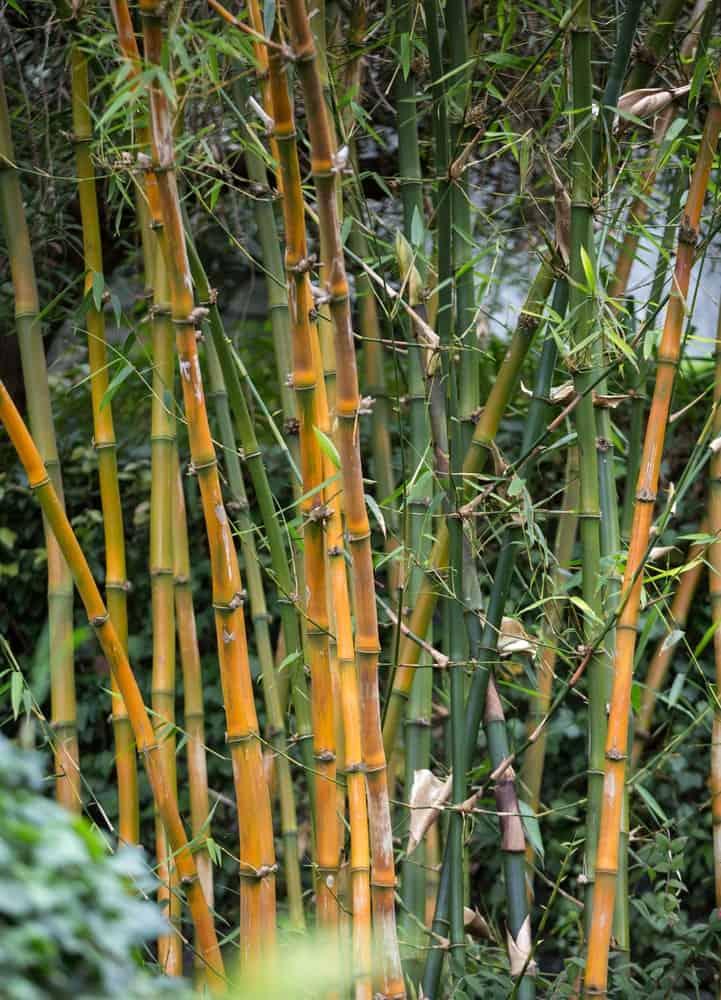 Guadua bamboo tree