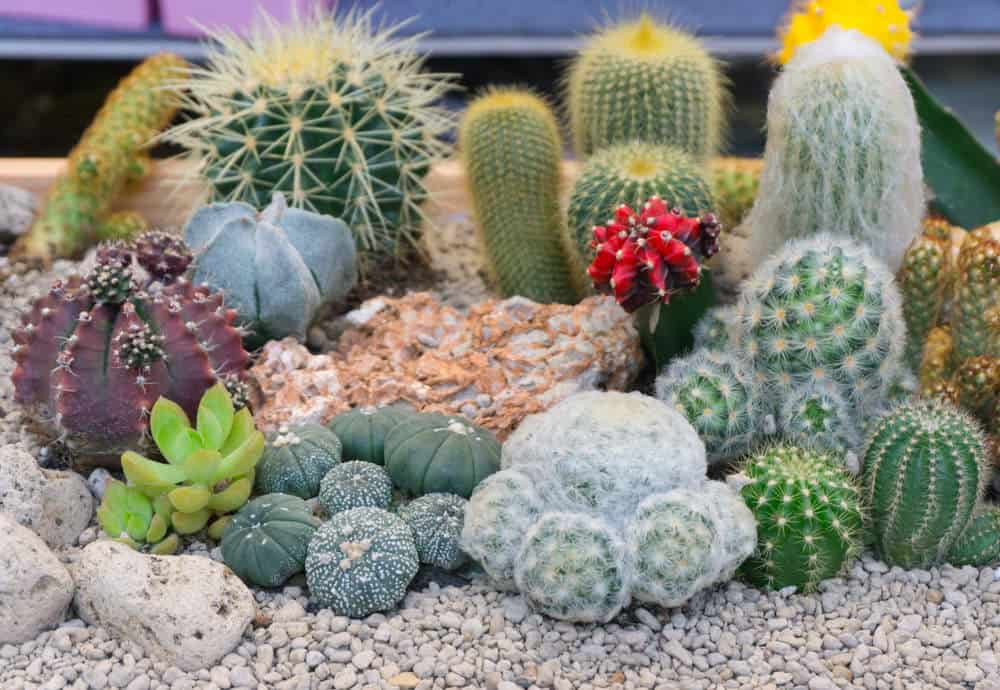 Close-up photography of cacti in wood planter with rocky bottom.