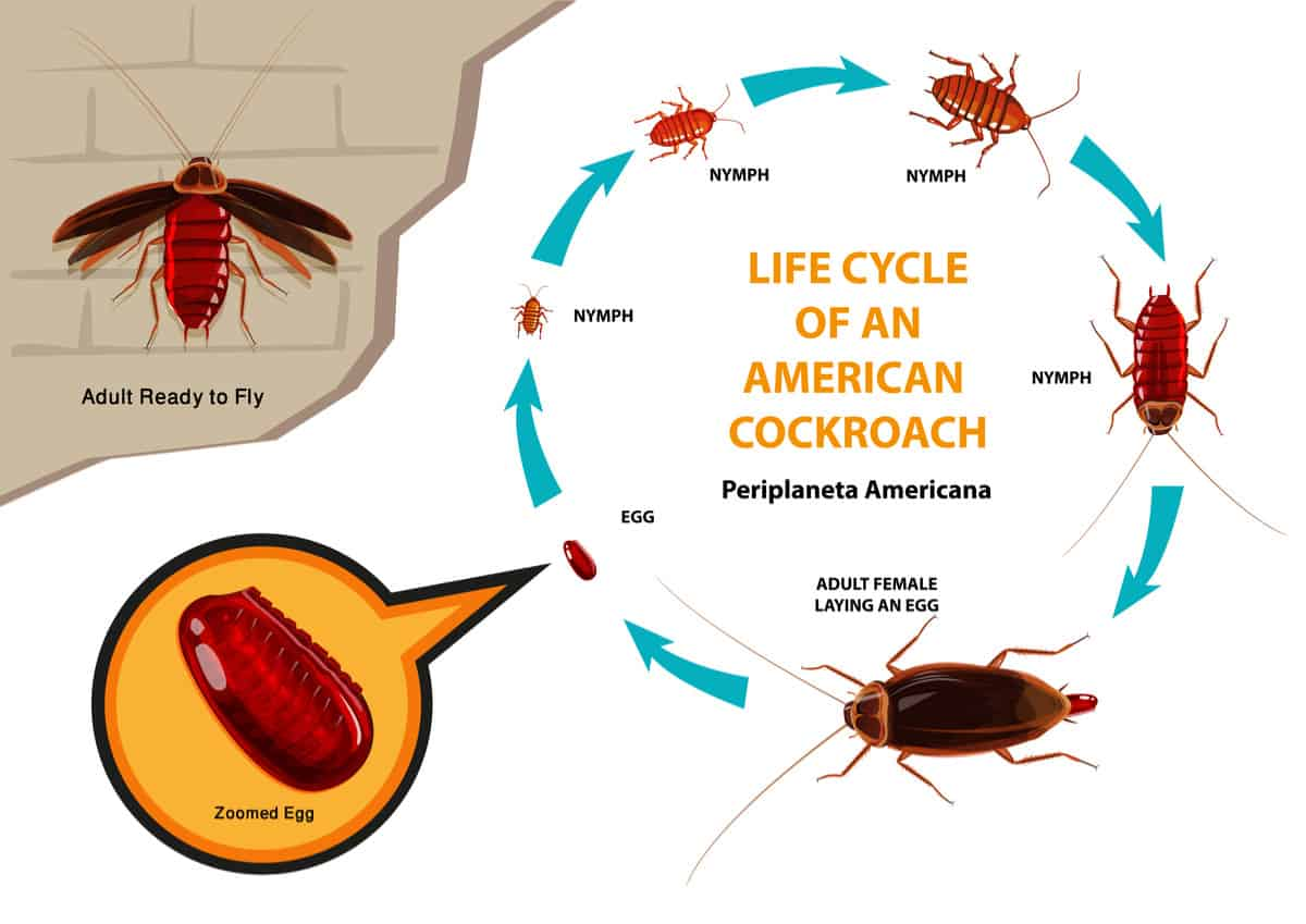 Lifecycle of an American Cockroach